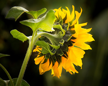 Sunflower_02_(20x16)