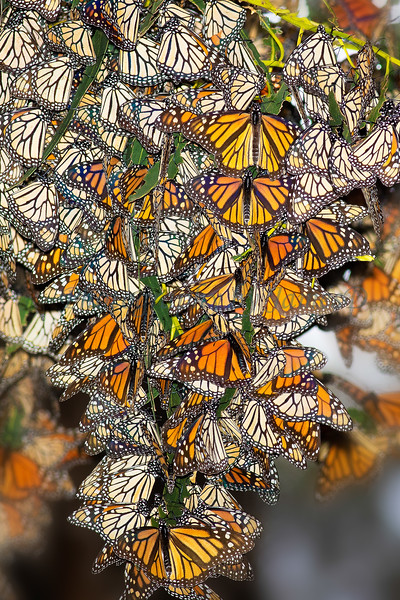Box 5 - Monarch_Butterflies_20160121-58(24x16)print