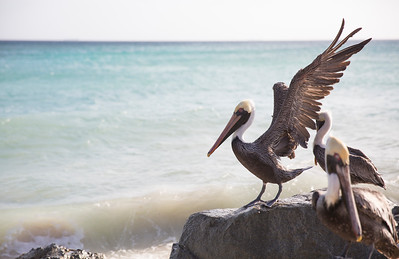 Aruban Pelican