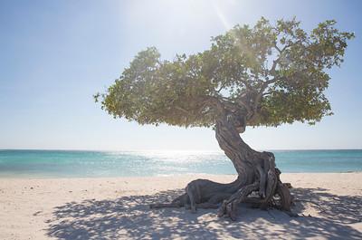 Divi Divi Tree or Watapana Tree