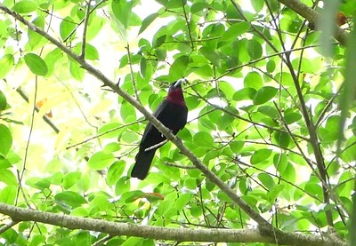 Purple-throated Fruitcrow