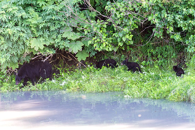 Black bear sow and her three young cubs walk along the edge of a slough, protected under the foliage.  Valdez, Alaska.