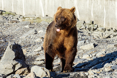 Grizzly Sow expresses herself while watching over her 4 yearling cubs...  Allison Point, Valdez, Alaska