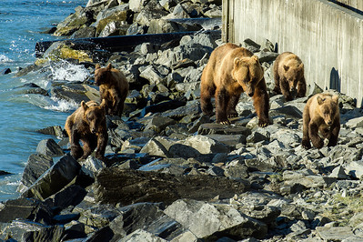 Grizzly Sow and her 4 yearling cubs come to feast on pink salmon at Allison Point, Valdez, Alaska