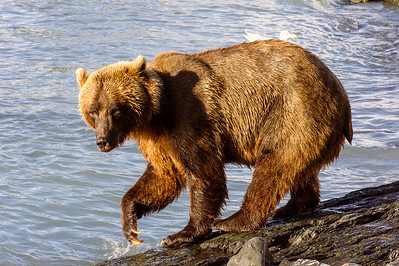Grizzly Sow fishing for pink salmon, Allison Point, Valdez, Alaska