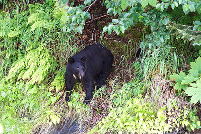 Black bear sow waits for her three young cubs to follow her to safety along the mountains.  Valdez, Alaska.