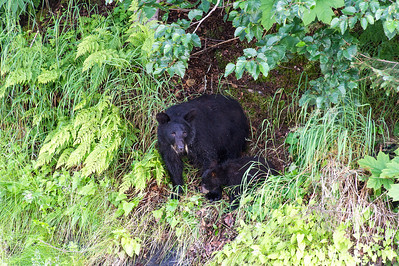 Black bear sow with one cub, waits for the other two young cubs to join her before going into a safe hiding place.  Valdez, Alaska.