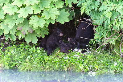 Black bear sow and her three young cubs hide under foliage and eat a nice pink salmon snack,  Valdez, Alaska.
