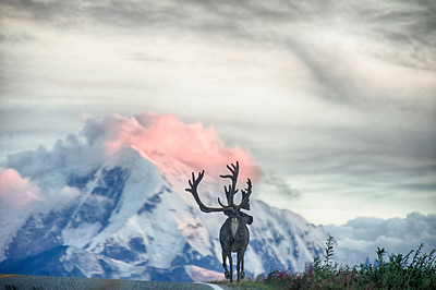 Beautiful caribou bull travels along the Richardson Highway in front of the Chugach Mountains. The local wildfires help to cast a pretty glow on the mountains at sunset. Donnelly Dome area, Alaska.