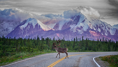 Beautiful caribou bull crosses the Richardson Highway in front of the Chugach Mountains.  The local wildfires help to cast a pretty glow on the mountains at sunset.  Donnelly Dome area, Alaska.