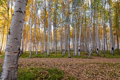 Trees-6884