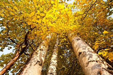 Trees-6551