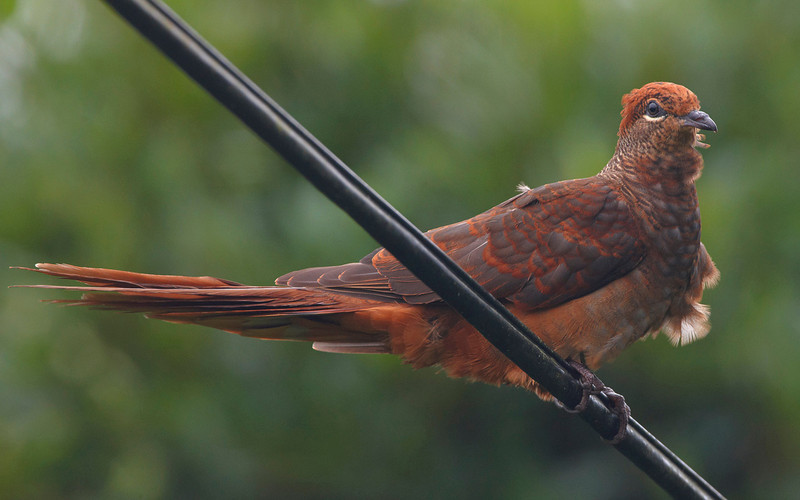 Brown Cuckoo Dove