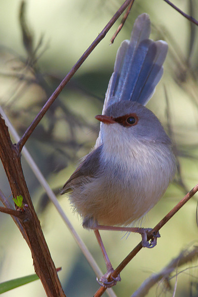 Female Viagated Fairy Wren