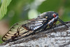 Female Black Prince cicada (that should be princess really)