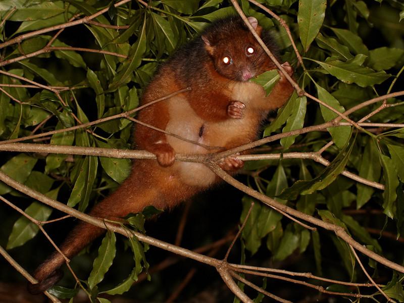 Rufous Ringtail possum