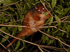 Rufous Ringtail possum