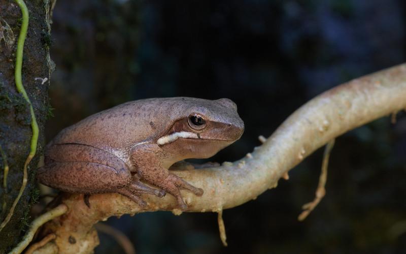 Broad-palmed Tree Frog