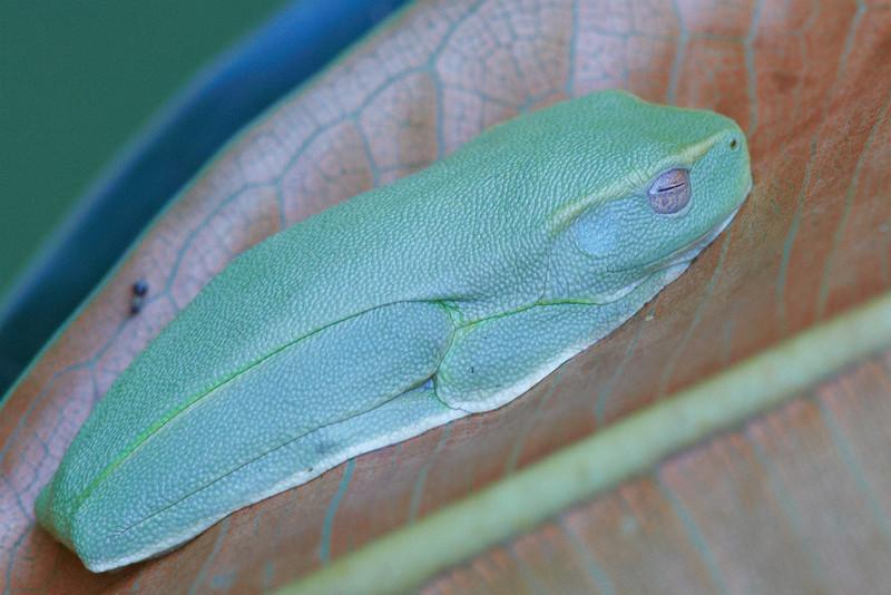 Graceful or Dainty Treefrog (litoria gracilenta)