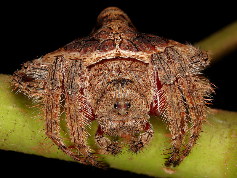 Dolophones conifera or Wrap-around spider.