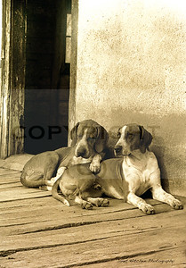 hounds in kennelswithtext copy!