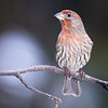 Male House Finch (I think)