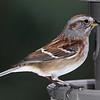 Female House Sparrow?