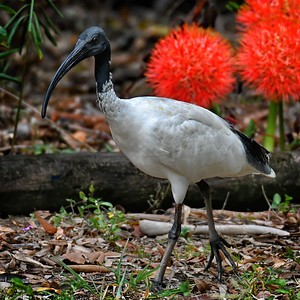 Ibis and (African) Blood Lillies. Crop.