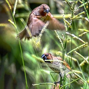 Mannikin in Flight and Mannikin Feeding.
