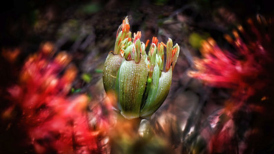 Opening bulb - Blood Lily.