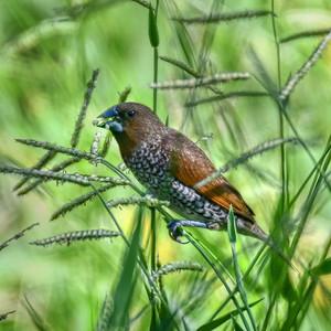 Scaly-breasted Mannikin Feeding on Grass Seeds.