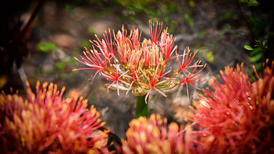 Newly blossomed Blood Lily.