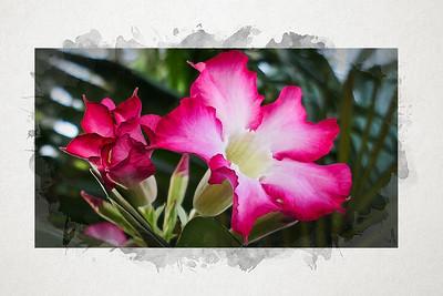 Desert Rose - Watercolour.