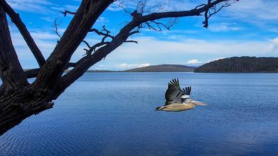 """""""Australian Pelican, Coalmine Beach, Walpole Inlet, WA, 2013."""""""
