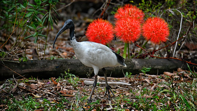 Ibis and (African) Blood Lillies.