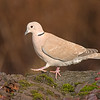 eurasian collared-dove victoria bc