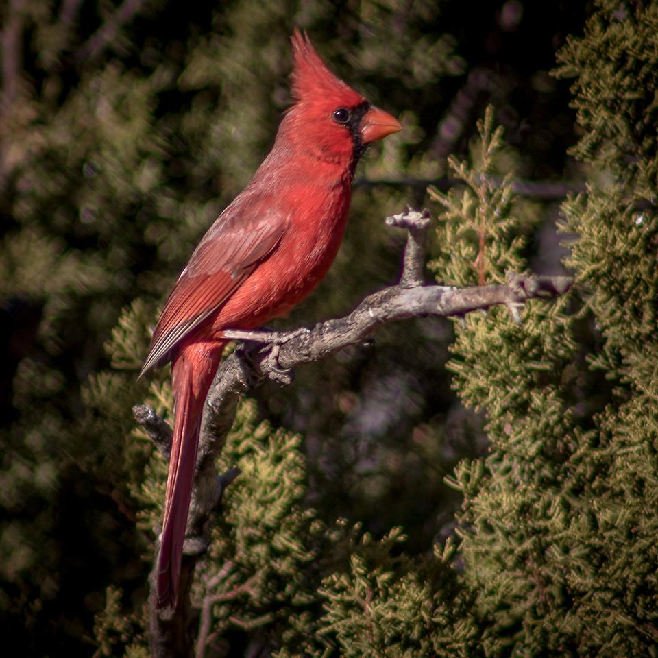 Cardinal, Palo Duro Canyon