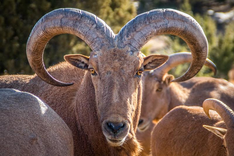 Old Aoudad Sheep