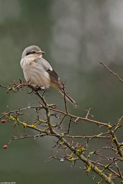northern shrike victoria bc