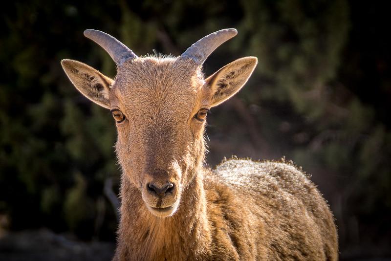 Eyes of a Baby Aoudad, Palo Duro Canyon