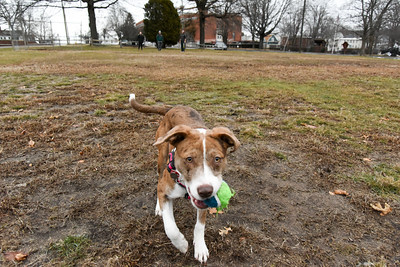 010216  Wesley Bunnell | Staff  Lady, a 6 month old shepard/lab mix, tracks the ball down during a game of catch on Federal Hill Green on Monday afternoon.