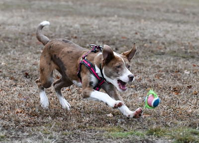 010216  Wesley Bunnell | Staff  Lady, a six month old shepard/lab mix, tracks down the ball thrown during a game of catch on Federal Hill Green on Monday afternoon.