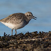 black-bellied plover victoria bc