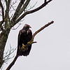 golden eagle vancouver island