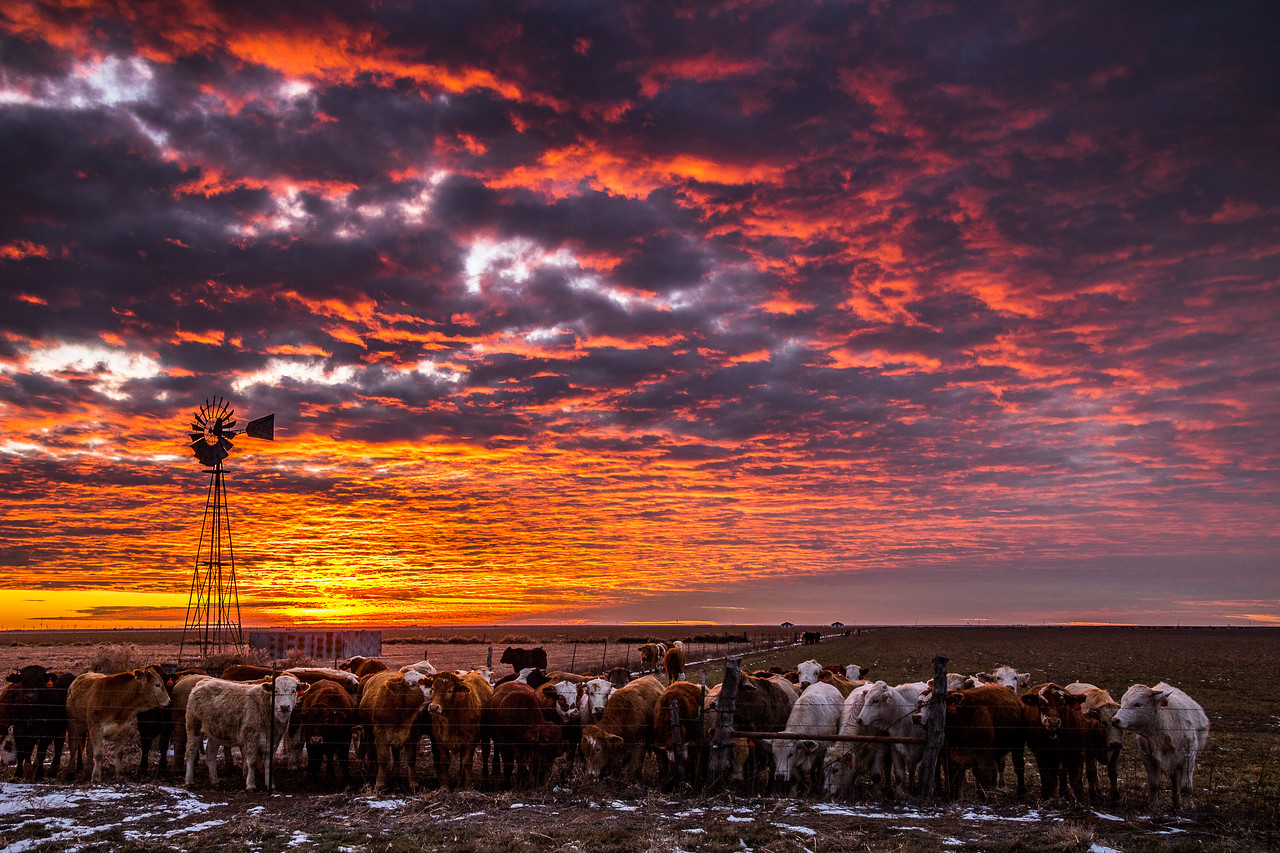Cattle and Winter Sunset