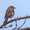northern mockingbird duncan bc