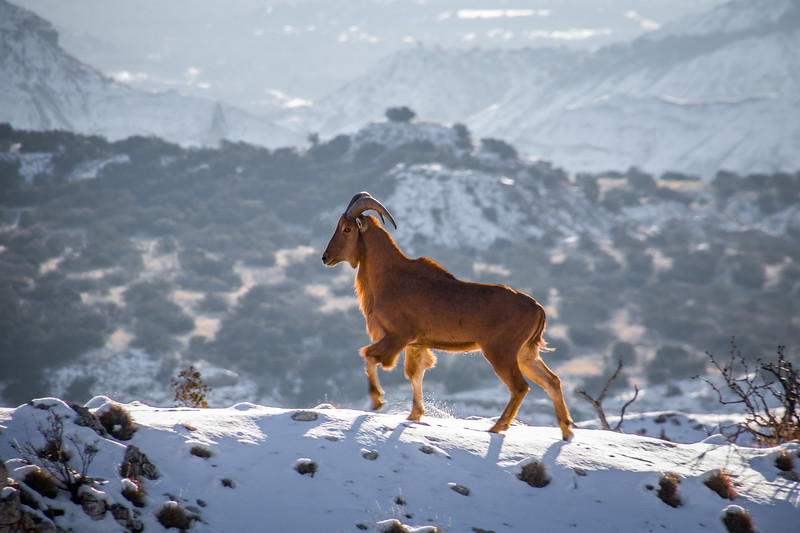 Aoudad Sheep in Snow, Palo Duro Canyon