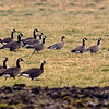 pink-footed geese(2) central saanich vancouver island