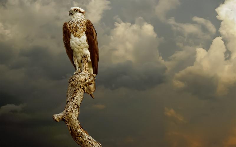 """""""Brahminy Kite Under a Brooding Sky."""""""