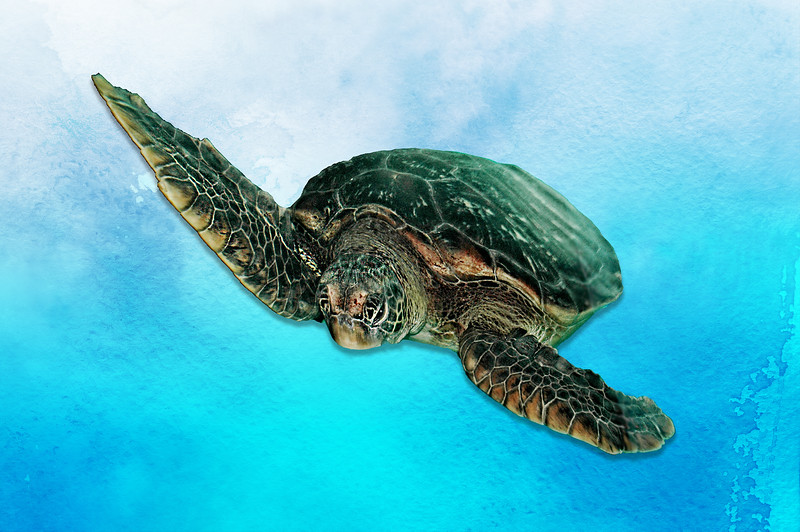 """""""Green Sea Turtle."""""""
